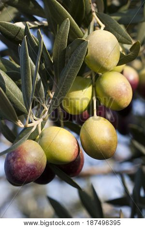 Olive branch full of olives on the Brac island in Croatia