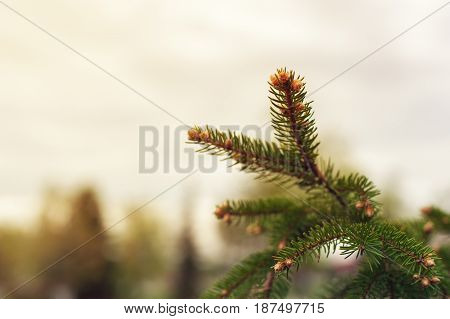 Closeup of evergreen spruce branch, spring background