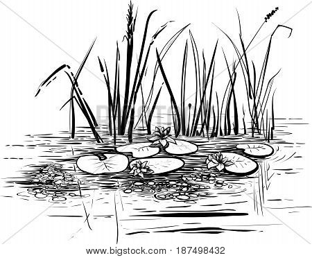 Vector reeds and water lilies. Scene with lotus in the pond illustration. Black and white graphic art line.