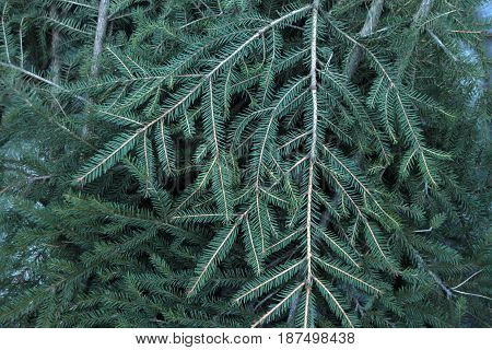 Spruce branches. Abstract natural forest background photo