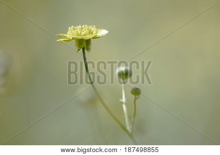 Yellow buttercup flowers in meadow and summer day
