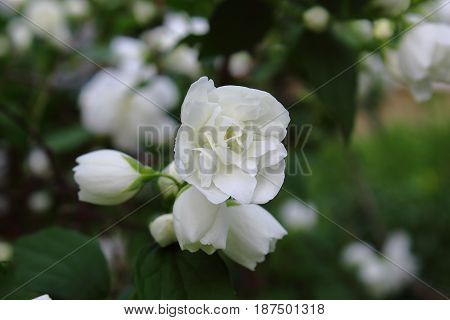 White garden Jasmine with bokeh. White Jasmine with green leaves. White garden Jasmine in the summer. Lovely gentle Jasmine flower sways on wind among the leaves in the garden