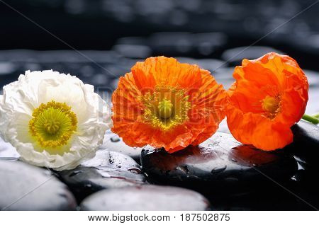 still life with pebble and three poppy flower
