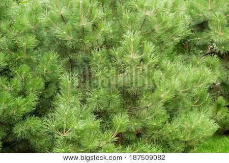 Coniferous wood, pine or cedar, the thick pine branches