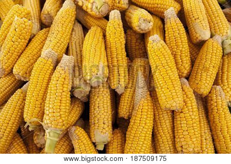 Ripe yellow corn cobs close-up at the farmers market of Iowa United States
