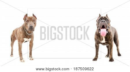 Dogs of pit bull and Cane Corso, standing in front of a banner, isolated on white background