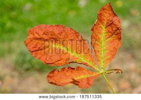 A dying autumn leaf on blurred background