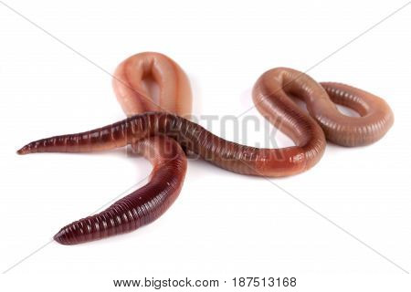 Two earthworms isolated on white background close-up.