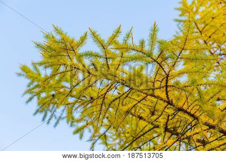 The branches of a larch tree in autumn against a blue sky