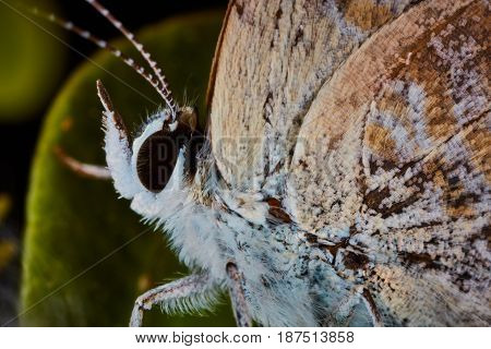 Lycaenidae Sitting On A Plant Macro Photo