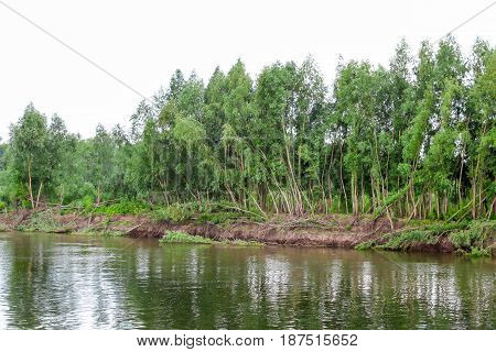 The trees on the Bank of the Volga river, Russia. The collapse of the banks of the river
