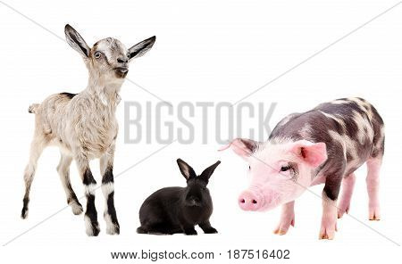 Goat, rabbit and pig, standing isolated on white background