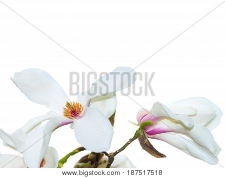 Beautiful white magnolia magnolia flower with white background