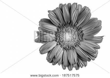 Gerbera flower with white background, black and white, detail
