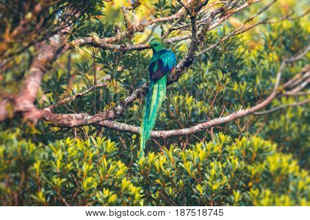 Male of resplendent quetzal (Pharomachrus mocinno) on the tree. Costa Rica