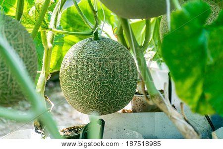 Organic cantaloupe- melon (watermelon) refreshing during the summer hea