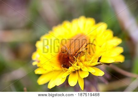 May bug or cockchafer or Melolontha on a dandelion.