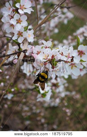 Bumble bee pollinating white flower of Manchu cherry