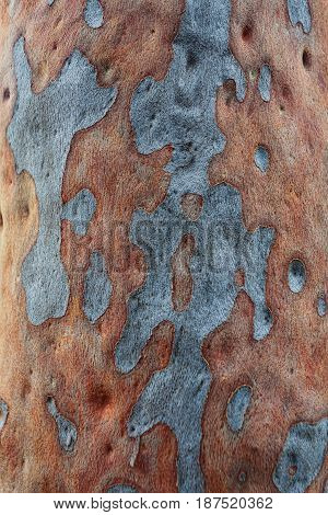 Spotted Gum Tree Eucalyptus Maculata
