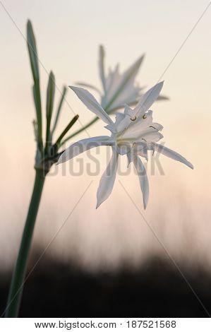 Large White Flower Pancratium Maritimum