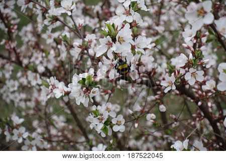 Bumble bee sitting on the flower of Shanghai cherry