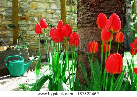 Red tulips and water can in the garden