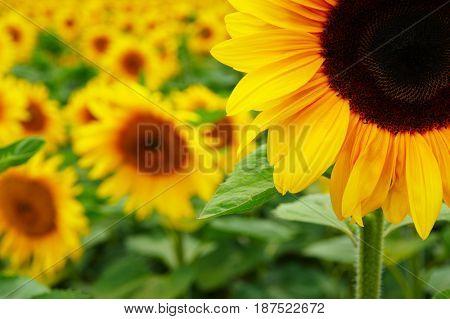 close-up of a beautiful sunflower in a field