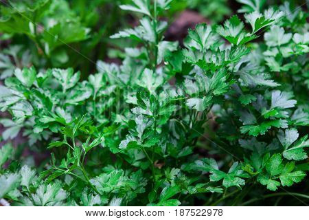 a bunch of fresh and green parsley on ground