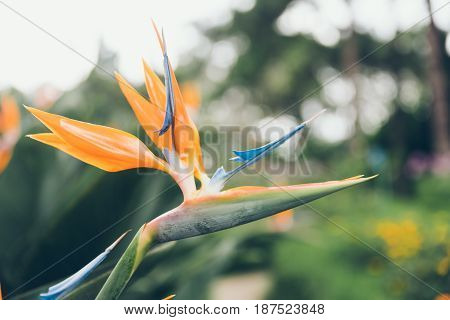 Bird Of Paradise Flower On Green Background.