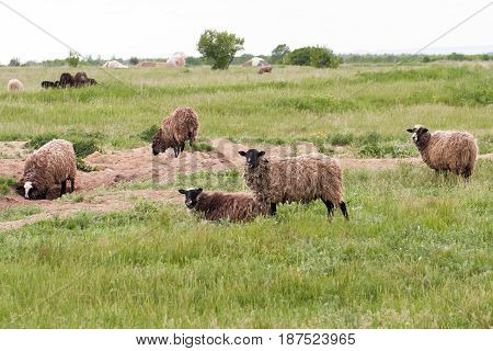 A flock of sheep grazing in a meadow.