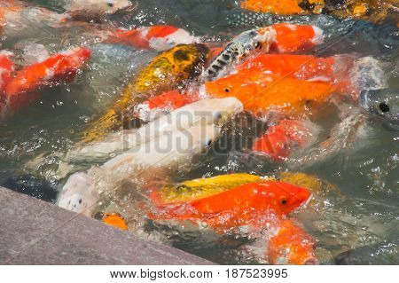 Koi fish are waiting for food selective focused