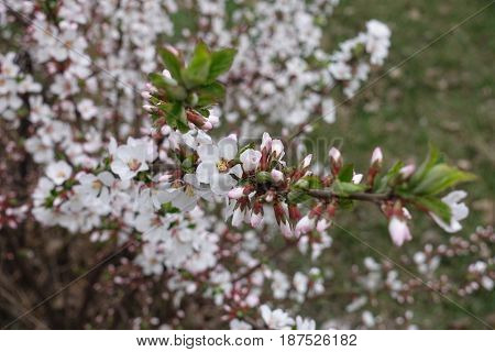 White flowers and green leaves on the branch of Nanking cherry