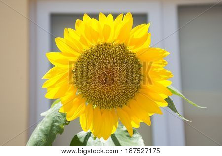 Soft focused picture of sunflower in the garden with blurred building background