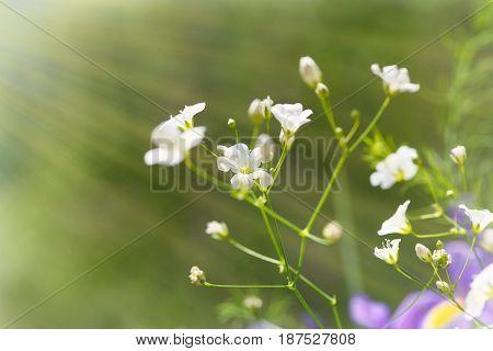 Gentle white wild flowers on green background. Wildflowers under sun rays.