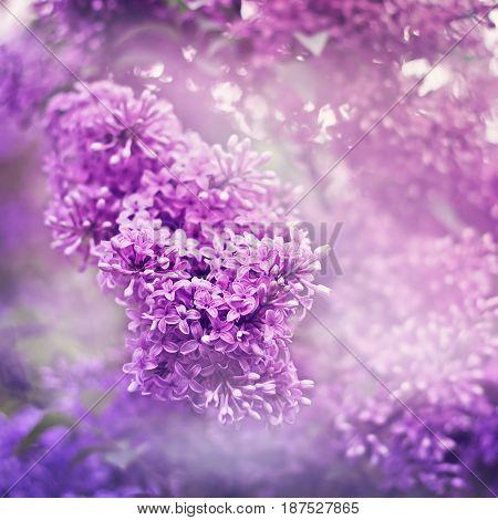 Lilac Backgorund