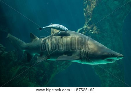 Live sharksucker (Echeneis naucrates) and the sand tiger shark (Carcharias taurus), also known as the grey nurse shark.