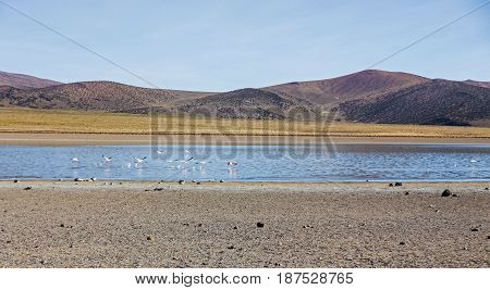 Flamingos In The Lagoon Huayñacota In The Natural Park Of Sajama. Bolivia-