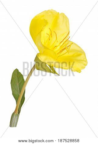 Single bright yellow flower and leaf of Missouri evening primrose (Oenothera macrocarpa) isolated against a white background
