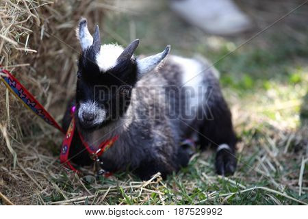 Little goat with horns Thailand south east asia
