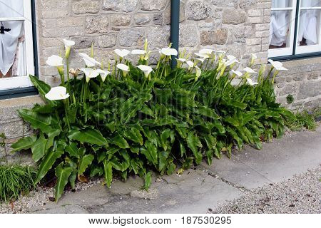 Beautiful White Peace Lilies Growing Outside A Traditional Stone House