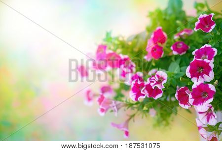 Pink petunia in flower pot on blurred nature background. Flowers banner with copy space. Soft focus