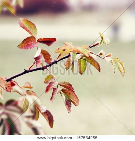 Branch of dog-rose in autumn. Nature background