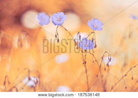 Flowers of flax with a gentle tone and soft focus.Selective focus