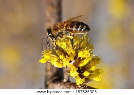 Honey bee collecting nectar on yellow flower, Honey Bee pollinating wild flower
