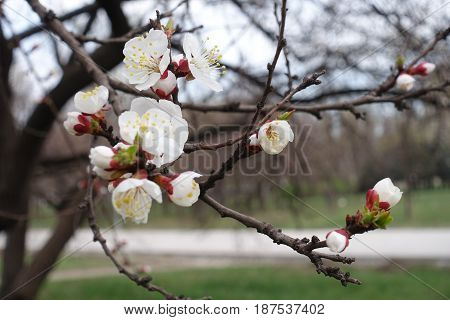 Close Up Of Apricot Flowers In The Park