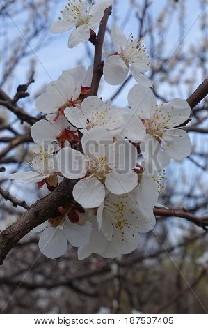 Close Up Of Bunch Of Apricot Flowers