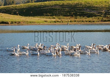 A flock of white Domestic Geese swimming in lake in afternoon, Tasmania, Australia. Domesticated grey goose are poultry used for meat, eggs, down feathers (Anser anser domesticus)