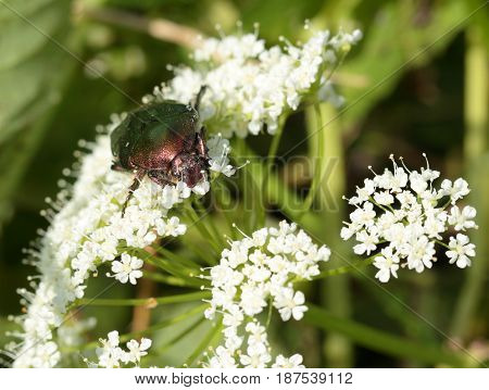 Rose chafer ( Cetonia aurata) on white flowers