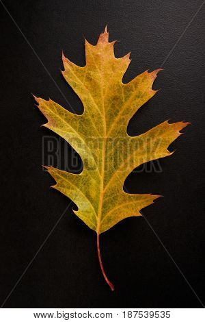 Yellow Autumn leaf isolated on a black background, vertical