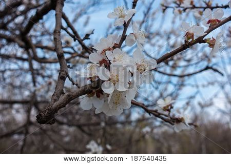 Close Up Of White Flowers Of Apricot